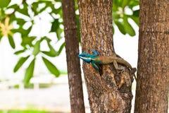 Lucertola blu sull'albero, Tailandia Fotografie Stock Libere da Diritti