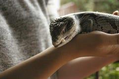 lucertola blu-tongued indigena che è tenuta fotografia stock