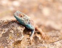 Lucertola capa blu sulla roccia fotografie stock libere da diritti