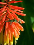 Lucertola che arrampica i fiori rossi Fotografia Stock Libera da Diritti