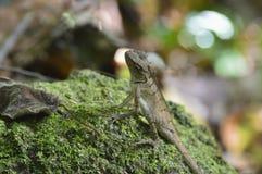 Lucertola che aspetta qualsiasi mosca Fotografia Stock Libera da Diritti