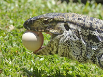 Lucertola che mangia le uova Immagine Stock
