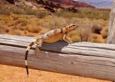 Lucertola che prende il sole nel sole del deserto Fotografia Stock