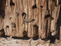Lucertola che prende il sole su una porta di legno immagine stock
