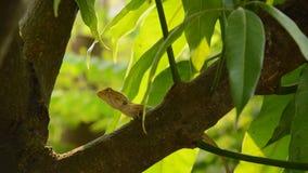 Lucertola che scala sull'albero di mango in giardino stock footage