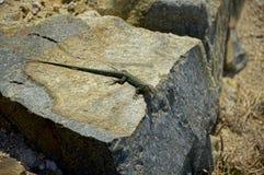 Lucertola che si siede su una roccia Fotografia Stock