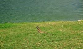 Lucertola che si siede sull'erba verde aruba immagine stock