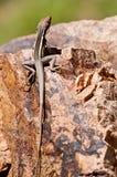 Lucertola che si siede sulla roccia Immagini Stock Libere da Diritti