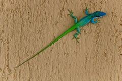Lucertola colorata due su una parete Fotografia Stock