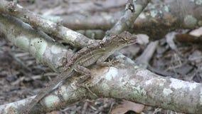 Lucertola comune di Florida che mangia un insetto video d archivio