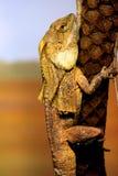 Lucertola con il collo dell'arricciamento al giardino zoologico di Taronga Immagini Stock Libere da Diritti