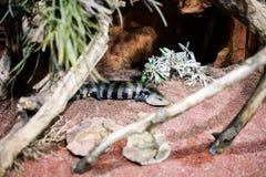 Lucertola con le bande, lucertola di alligatore Fotografia Stock Libera da Diritti