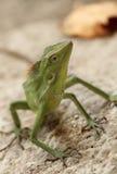 Lucertola crestata verde Immagini Stock