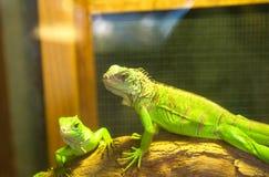 Lucertola crestata verde fotografie stock libere da diritti