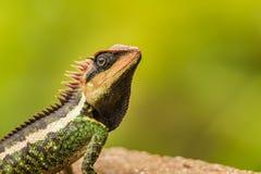 Lucertola dal parco nazionale Kaeng Krachan fotografia stock