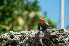 lucertola dalla testa rosso dell'agama della roccia che esamina spettatore Fotografia Stock