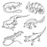 Lucertola del camaleonte, iguana verde, monitor del drago di Komodo, sabbia americana, rettili esotici o serpenti, macchiati a co Fotografie Stock Libere da Diritti