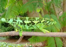 Lucertola del Chameleon di Jackson femminile, Chama Fotografie Stock