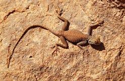 Lucertola del deserto sulla roccia Fotografia Stock Libera da Diritti