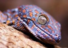 Lucertola del gecko di Tokay immagine stock