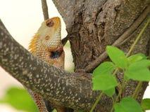 Lucertola del giardino su un albero, nel selvaggio Immagine Stock Libera da Diritti