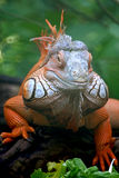 Lucertola dell'iguana Fotografia Stock Libera da Diritti