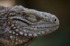Lucertola dell'iguana Fotografie Stock