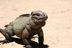 lucertola dell'iguana Fotografia Stock