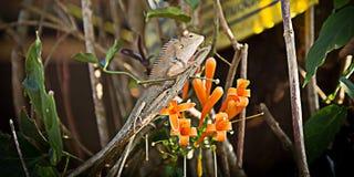 Lucertola di albero o piccola tenuta del drago sul ramo di albero dietro la foglia nel parco nazionale di kao di Khao, Tailandia, Fotografia Stock