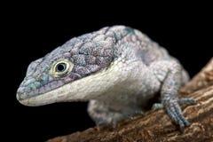 Lucertola di alligatore arborea (graminea di Abronia) Immagini Stock Libere da Diritti