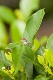 Lucertola di Brown Anole dietro le foglie Fotografia Stock