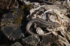 Lucertola di Brown sulle vecchie foglie dell'albero Fotografia Stock Libera da Diritti