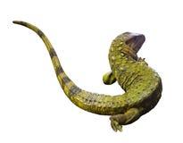 Lucertola di caimano nordica Isolato sopra bianco Fotografia Stock Libera da Diritti