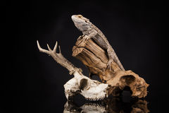 Lucertola di drago e cranio dei cervi Immagine Stock