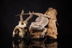 Lucertola di drago e cranio dei cervi Immagine Stock Libera da Diritti