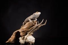 Lucertola di drago e cranio dei cervi Immagini Stock Libere da Diritti