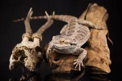 Lucertola di drago e cranio dei cervi Fotografia Stock