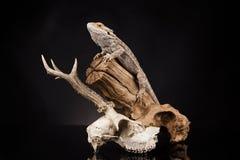 Lucertola di drago e cranio dei cervi Immagini Stock