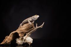 Lucertola di drago e cranio dei cervi Fotografie Stock