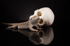 Lucertola di drago e cranio dell'essere umano Fotografie Stock