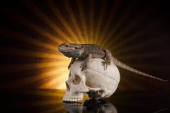 Lucertola di drago e cranio dell'essere umano Immagine Stock