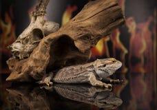 Lucertola di drago, radice e cranio dei cervi Immagine Stock