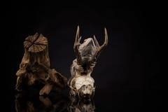 Lucertola di drago su fondo nero Fotografia Stock