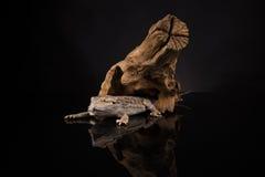 Lucertola di drago su fondo nero Fotografia Stock Libera da Diritti