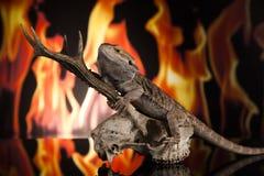 Lucertola di drago su un cranio dei cervi Fotografia Stock Libera da Diritti