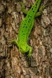 Lucertola di verde smeraldo su un albero Fotografia Stock