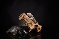 Lucertola e tartaruga di drago Immagine Stock Libera da Diritti