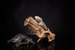 Lucertola e tartaruga di drago Immagini Stock