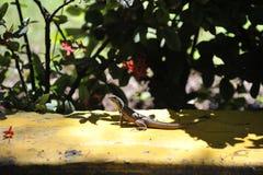 Lucertola grigia comune Fotografie Stock