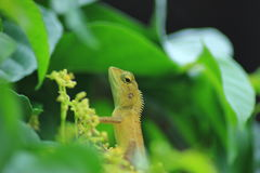 Lucertola, iguana, geco, Skink, Lacertilia Fotografia Stock
